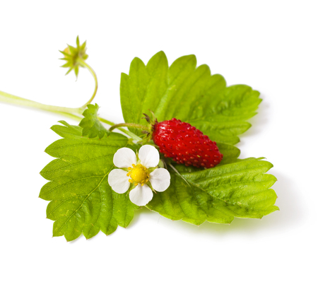 Wild strawberry with flower isolated on white background Stock Photo