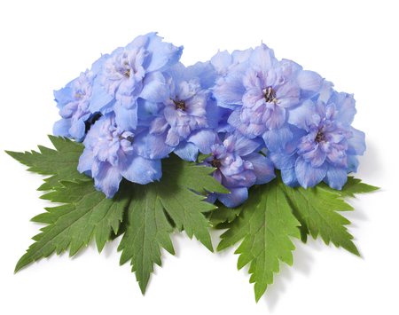 Blue delphinium flower with green leaves on white background
