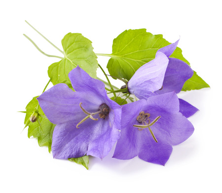 burgeon: Blue flowers bellflowers on white background. Campanula Stock Photo