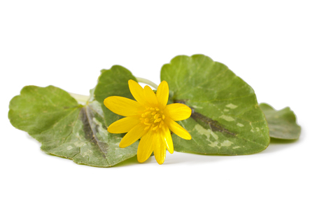 First spring flowers - Marsh Marigold (Caltha palustris) on white background