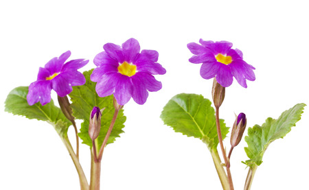 Purple primula flowers on white background