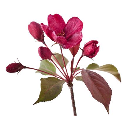 isolated flower: Red apple flower isolated on white background. (Paradise Apple) Stock Photo
