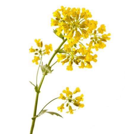 꽃 Barbarea 심상 또는 노란색 로켓 공장 (겨자과, 십자화과)는 흰색에 격리 닫습니다 스톡 콘텐츠