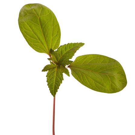 communis: Sapling of castor plant on white background. Ricinus communis.