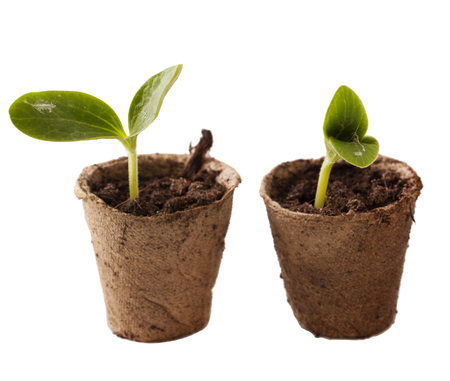 Young seedling in peat pots on a white background Stock Photo