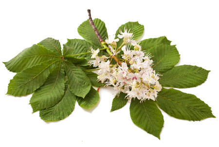 Horse-chestnut (Aesculus hippocastanum, Conker tree) flowers and leaf on a white background
