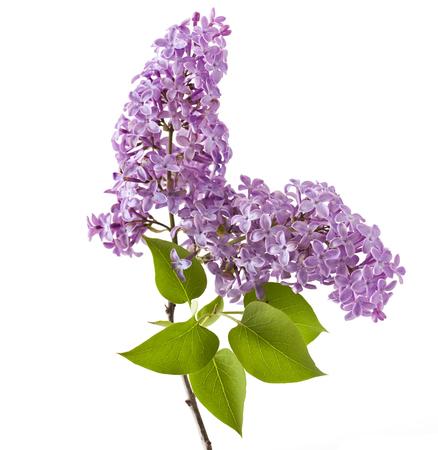 Flor de la lila aislado en el fondo blanco. (Syringa vulgaris)