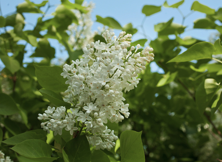 Lilac blooms. A beautiful bunch of lilac closeup. Stock Photo