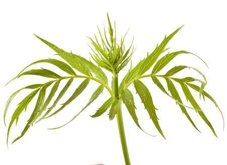 Valerian herb leaf isolated on white background