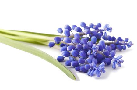 fresh muscari grape hyacinth flowers isolated on white background Stock Photo