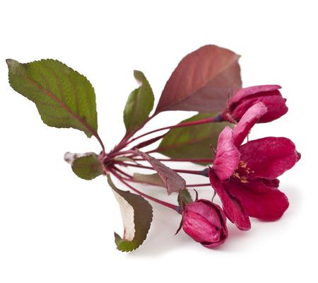 pomme rouge: Fleur rouge de pomme isolé sur fond blanc. (Paradise Apple)