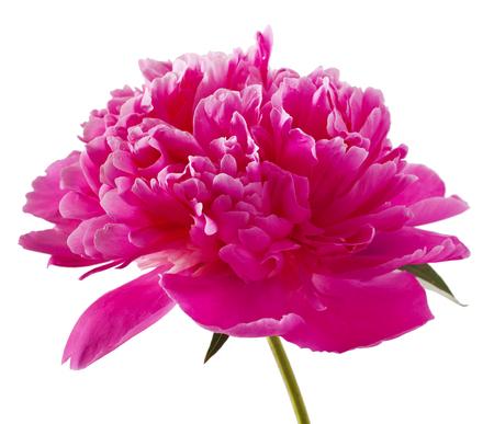 flores chinas: flor rosa peonía (Paeonia lactiflora) sobre un fondo blanco
