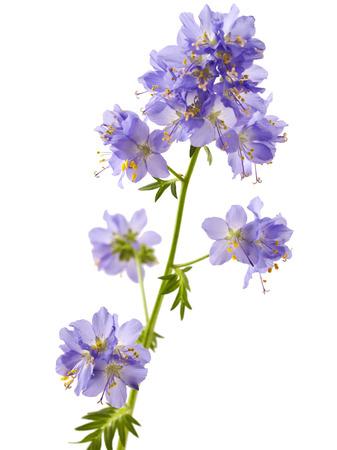 Jacobs Ladder or Greek valerian (Polemonium caeruleum) isolated on white