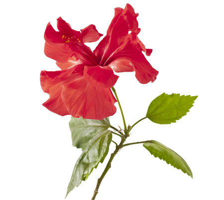 Red Hibiscus flower on a white background