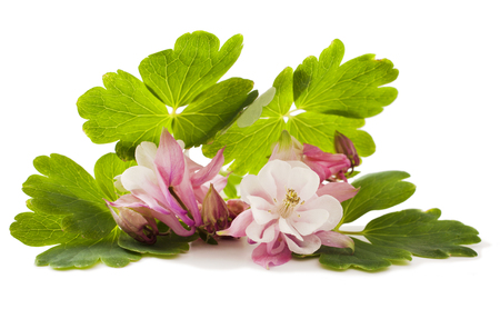Aquilegia vulgaris flower isolated on white background Stock Photo