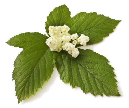 Mädesüß Blüten und Blätter auf weiß. Echtes Mädesüß
