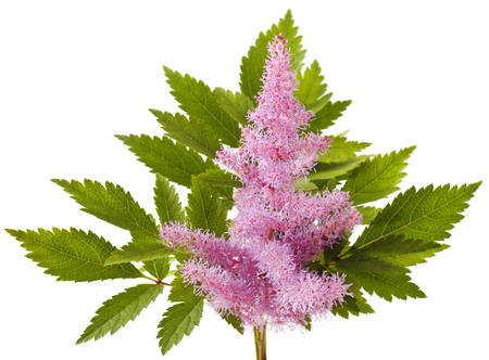 Pink Astilbe flower isolated on white background
