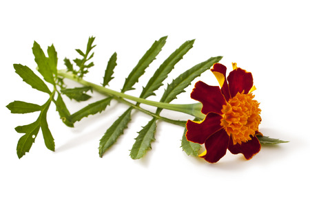 Yellow-red flower of marigold isolated on white. Tagetes