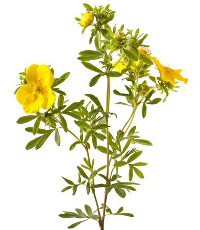 Shrubby Cinquefoil blooming, isolated on white background (Potentilla)