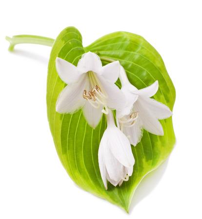 White Hosta Blumen-und Blätter Lokalisiert Auf Weiß Lizenzfreie ...