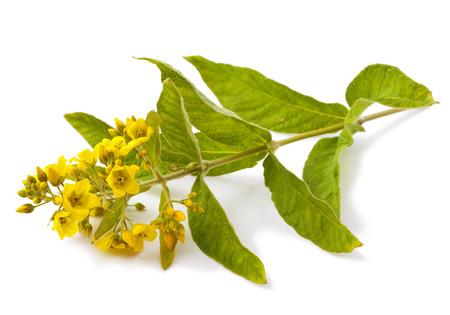 Yellow flower isolated on white background. (Lysimachia) Stock Photo