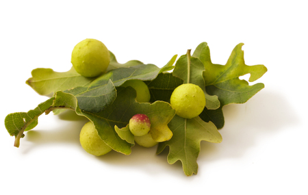 Green oak leaf, Oak apples on white. Parasite on plant. Stock Photo