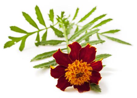 Tagetes patula flower on white background Stock Photo