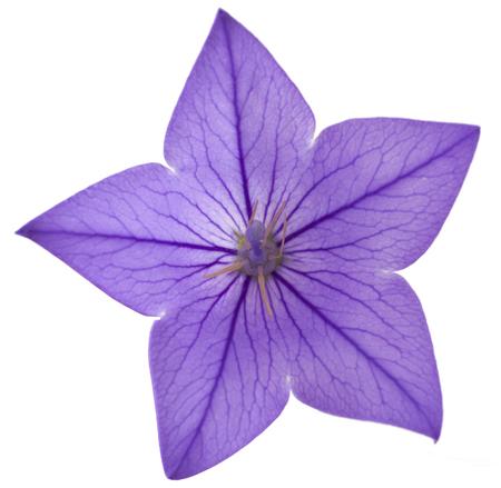 Blue flower bellflowers on white background. Campanula