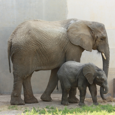 A female elephant and her baby
