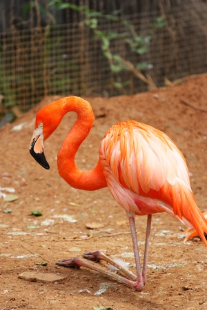 A flamingo is standing and turning the  neck photo