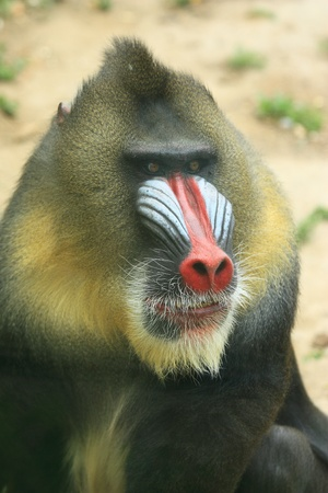 mandrill: Portrait of an Africa mandrill with a big  nose