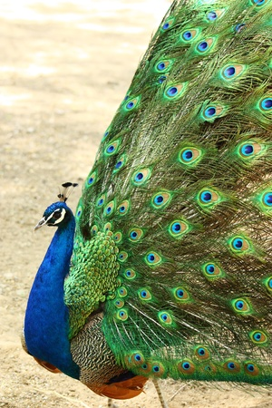The peacock spreads its bright plumage Stock Photo - 10695951