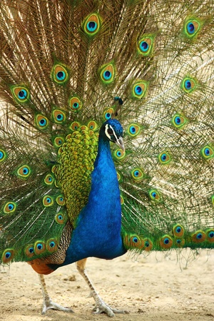 flaunt: The peacock spreads its bright plumage Stock Photo