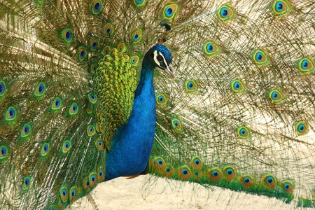 The peacock spreads its bright plumage photo