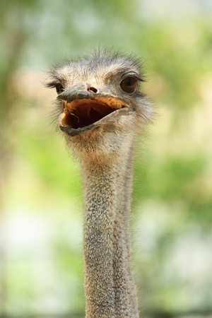 The isolated portrait of an ostrich head Stock Photo - 10695811