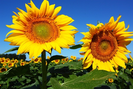 two bright sunflowers at sunny