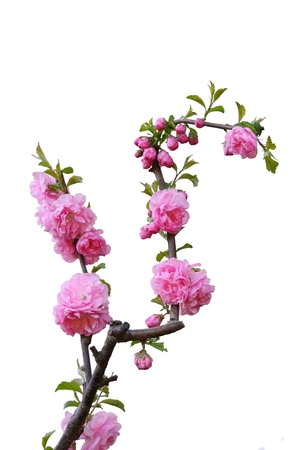 Beautiful blossom peach flowers photo