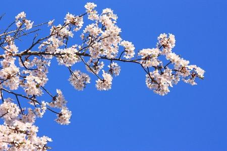 cherry flower with blue sky photo
