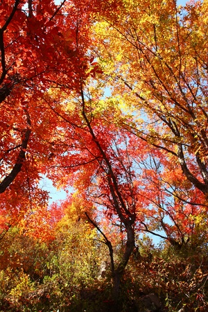 red and golden maple in autumn photo
