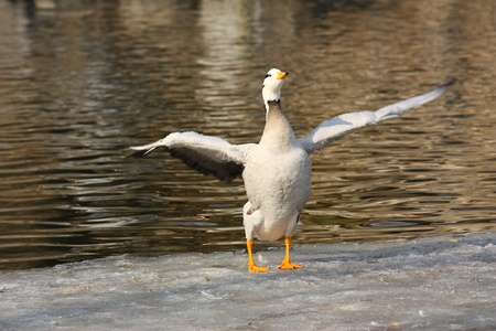 a goose on snow in winter, Stock Photo - 10853022