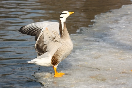 a goose on snow in winter, Stock Photo - 10852920