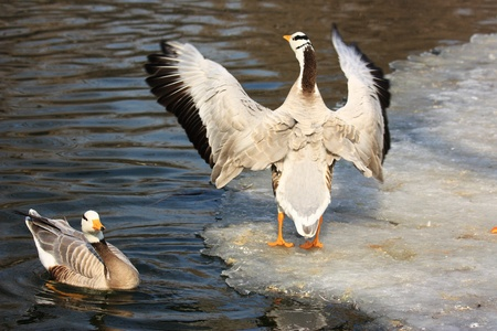 two geese on snow in winter, Stock Photo - 10852961