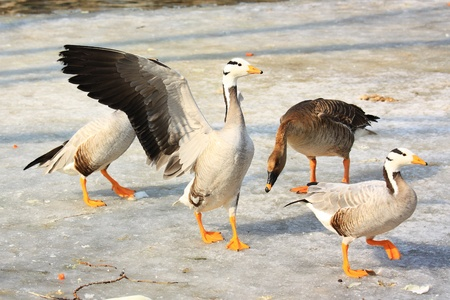 four geese on snow in winter, Stock Photo - 10852928