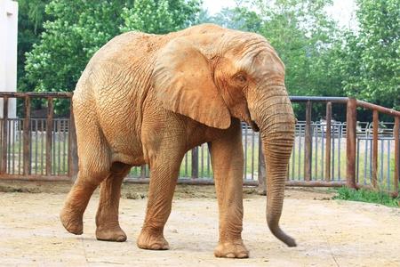 A male elephant is walking Stock Photo
