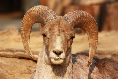 The portrait of a goat with big horns. The head of an East Asiatic,which is staring.