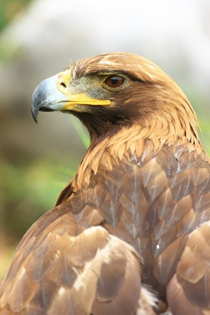 The isolated portrait of hawk Stock Photo - 10852925