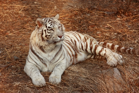 A white tiger lie on the grass.white tiger is a rare animal. Stock Photo - 10853521