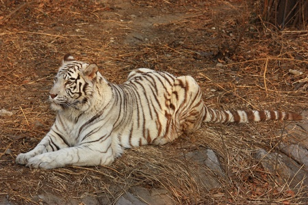 rare animal: A white tiger lie on the grass.white tiger is a rare animal. Stock Photo