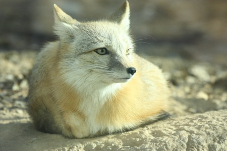 A white fox is still Stock Photo - 10853575