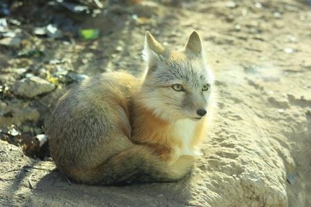 A white fox is still Stock Photo - 10853305